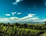 Witte wijnen uit Friuli