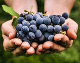 Nebbiolo: more than just great wines